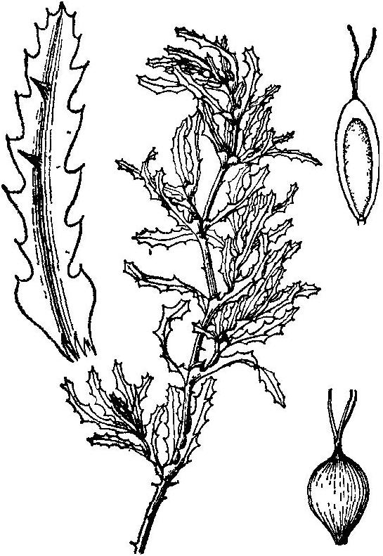 茎刺藻属_水环境治理沉水植物介绍6:茨藻属